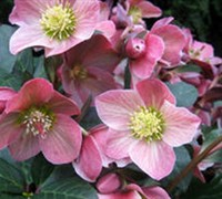 Shop Helleborus Gold Collection 'Merlin' - 1 Gallon
