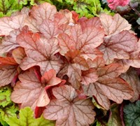 Vienna City Heuchera - Coral Bells