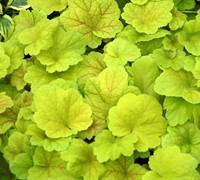 Electric Lime Heuchera