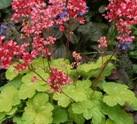 Shop Little Cutie Sweet Tart Heuchera - Coral Bells - 8 Count Flat of Quart Pots