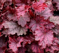 Midnight Bayou Heuchera - Coral Bells
