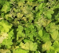 Shop Pistache Coral Bells - Heuchera - 1 Gallon