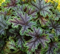 Shop Tapestry Heucherella - Foamy Bells - 2.5 Quart