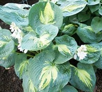 Dream Weaver Hosta Lily