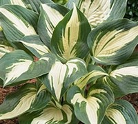Shop Lakeside Cupcake Hosta Lily - 8 Count Flat of Quart Pots