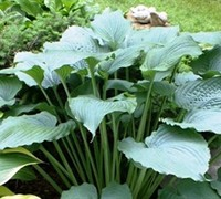 Queen of the Seas Hosta Lily