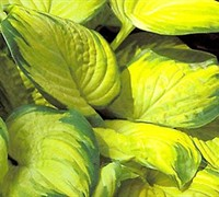 Shop Stained Glass Hosta Lily - 1 Gallon