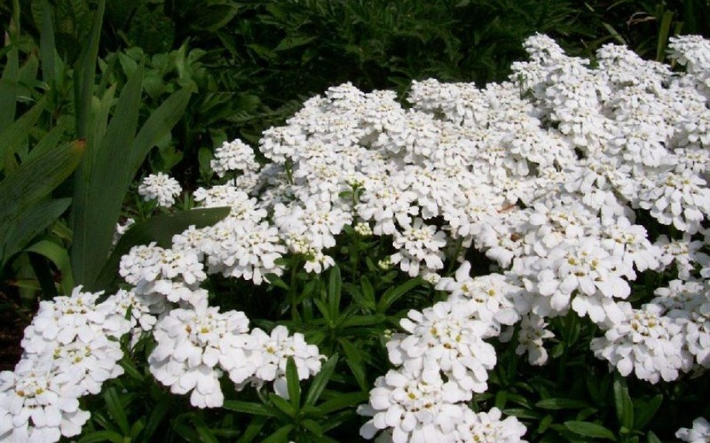 Snowflake Candytuft - 1 Gallon - Iberis - Candytuft Plants | ToGoGarden