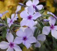 Shop Chattahoochee Woodland Phlox - 1 Gallon