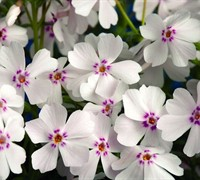 Shop Amazing Grace Creeping Phlox - 1 Gallon