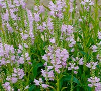 Pink Manners Physostegia - Obedient Plant