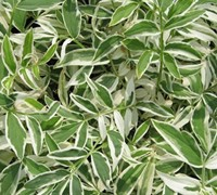 Shop Touch of Class Variegated Polemonium - Jacobs Ladder  - 1 Gallon