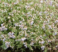 Touch of Class Variegated Polemonium - Jacobs Ladder