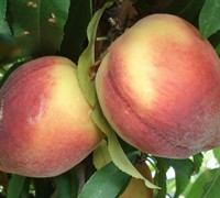 Shop Belle of Georgia Peach - 5 Gallon