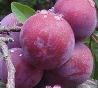 Shop Methley Plum - 2 Gallon