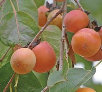 Shop American Persimmon - Diospyros virginiana - 3 Gallon