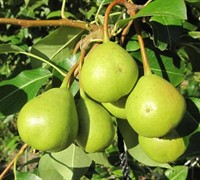 Shop Orient Pear - 5 Gallon