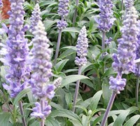 Sensation Sky Blue Salvia - Sage