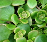 Shop Sedum Tetractinum - 10 count flat of 4.5