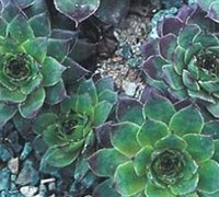 Shop Carmen Hen and Chicks - 3 Count Flat of Pint Pots