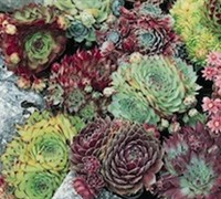 Sempervivum - Assorted Hardy Mix (3 of 6 varieties)