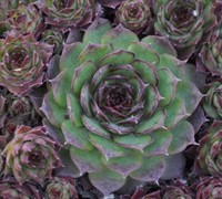 Shop Silverine Hen and Chicks - 3 Count Flat of Pint Pots