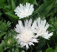 White Surprise Stokesia - Stokes Aster