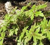 Pacific Crest Tiarella - Foam Flower