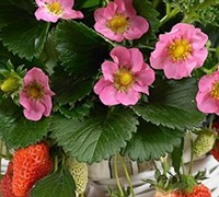 Gasana Ornamental and Edible Strawberry - Fragaria