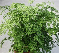 Sounthern Maidenhair Fern- Adiantum capillis veneris