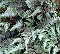 Red Beauty Painted Fern