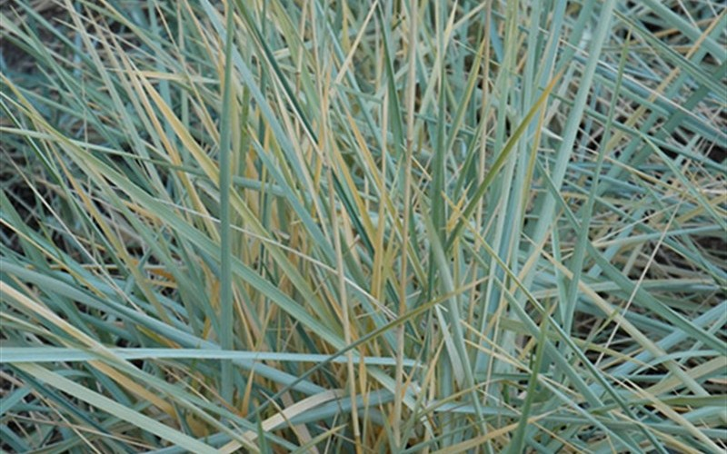 Buy blue dune lyme grass leymus 1 gallon perennial for Blue ornamental grass plants