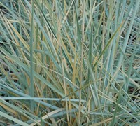 Shop Blue Dune Lyme Grass - 1 Gallon