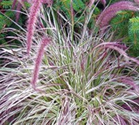 Cherry Sparkler Fountain Grass - Pennisetum