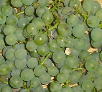 Niagra Grape - Vitis labrusca