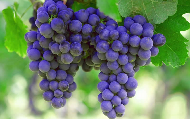 Sunbelt Grape - Vitis labrusca 'Sunbelt'
