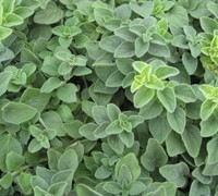 Hot & Spicy Oregano - Origanum
