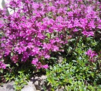 Shop Red Creeping Thyme - Thymus - 12 Count Flat of Pint Pots