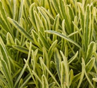 Platinum Blonde English Lavender - Lavendula