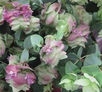 Kent Beauty Oregano - Origanum