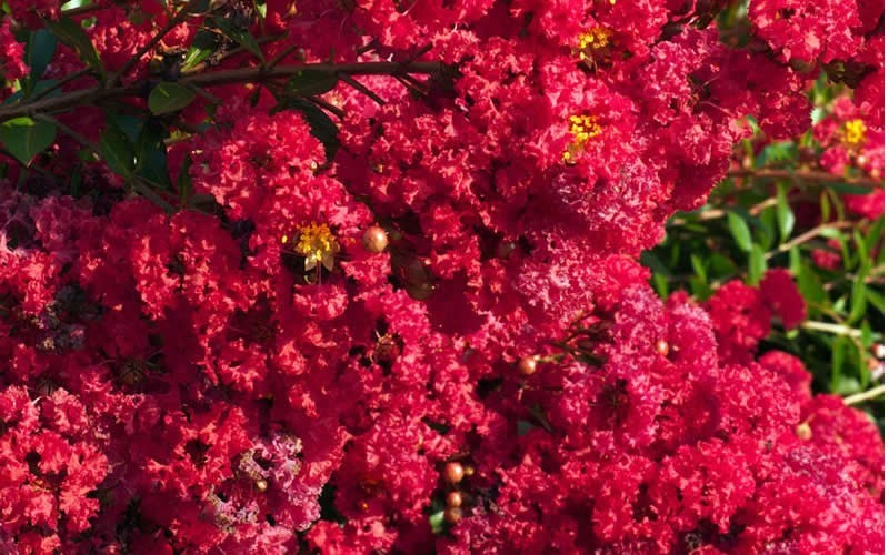 Razzle Dazzle Cherry Dwarf Crape Myrtle Photo 3