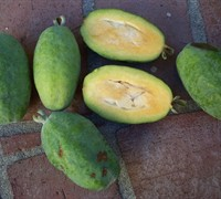 Feijoa Pineapple Guava - Acca Sellowiana