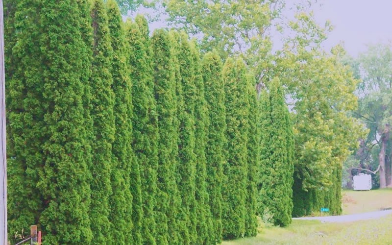 Degroot's Spire Arborvitae - Thuja occidentalis 'Degroots Spire'