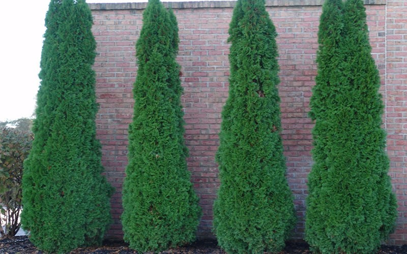 Degroot's Spire Arborvitae - 1 Gallon - Sun Loving Shrubs | ToGoGarden