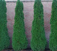 Shop Degroot's Spire Arborvitae - 1 Gallon