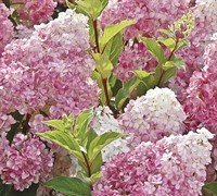 Shop Vanilla Strawberry Hydrangea - 3 Gallon
