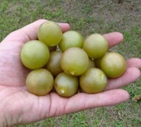 Shop Fry Muscadine - 1 Gallon