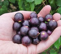 Noble Muscadine - Vitis rotundifolia 'Noble'