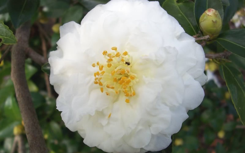 Mine No Yuki Camellia Sasanqua - 2 Gallon - Sasanqua Camellias - Fall Blooming | ToGoGarden