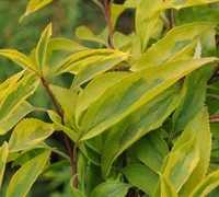 Golden Times Forsythia